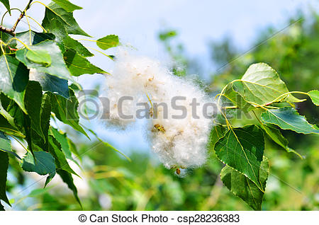 Pictures of poplar fluff in twig among green leaves.