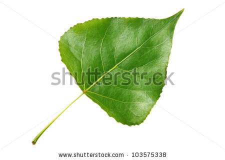 Poplar Leaf Stock Photos, Royalty.