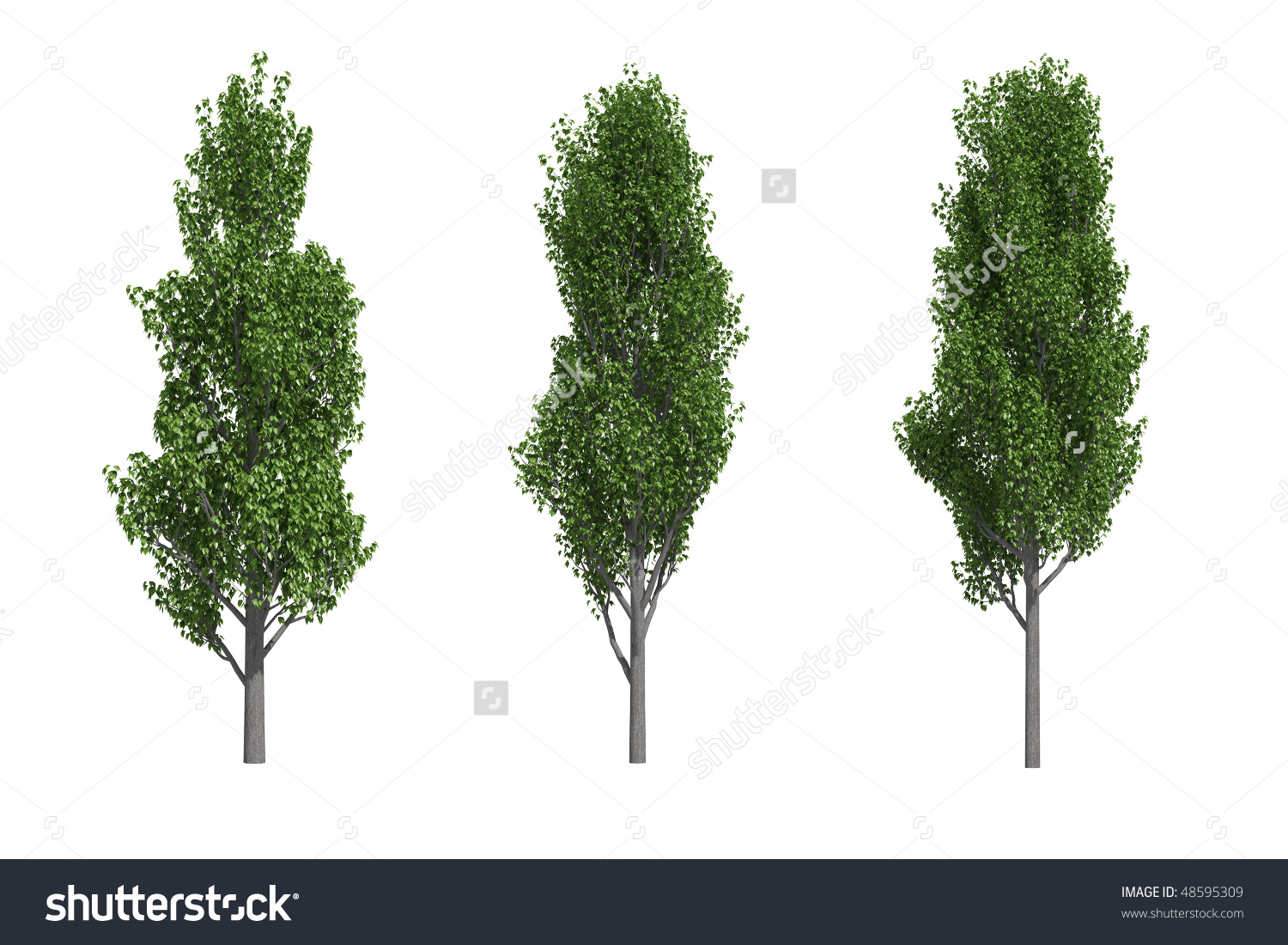 Poplar Trees Isolated On White Background Stock Illustration.