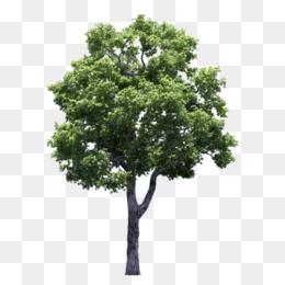 Poplar Tree PNG and Poplar Tree Transparent Clipart Free.