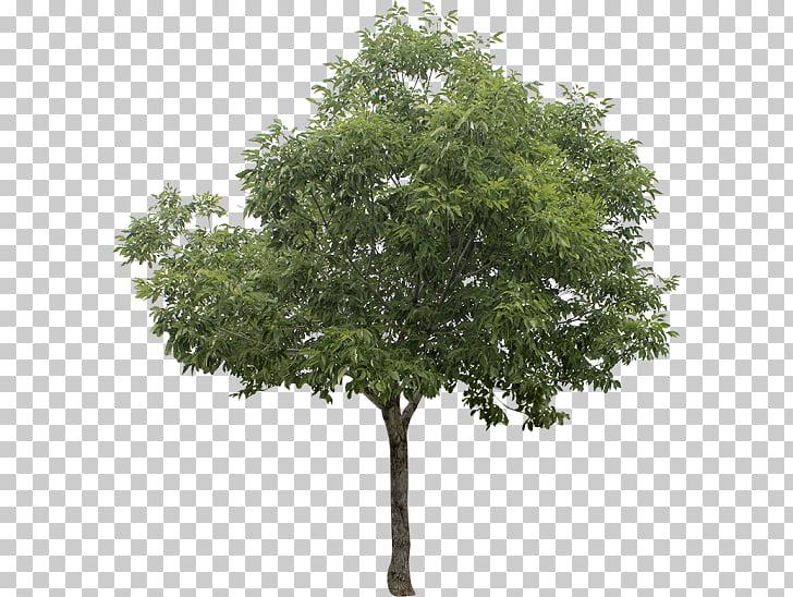 White poplar Tree , tree PNG clipart.