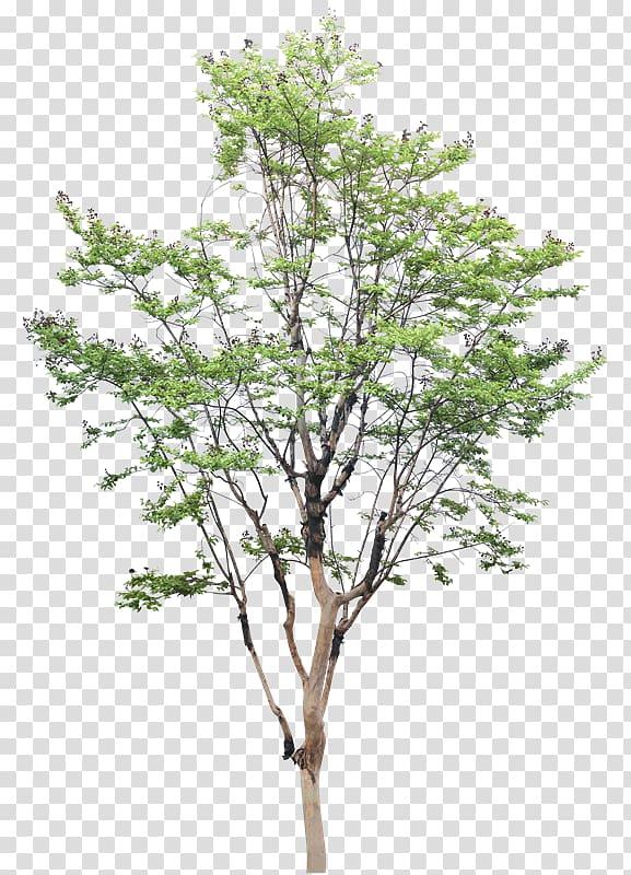 White poplar Tree Populus nigra Drawing, Vz transparent.