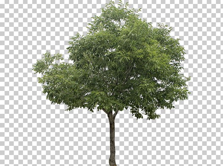 White Poplar Tree PNG, Clipart, Branch, Clip Art, Computer.