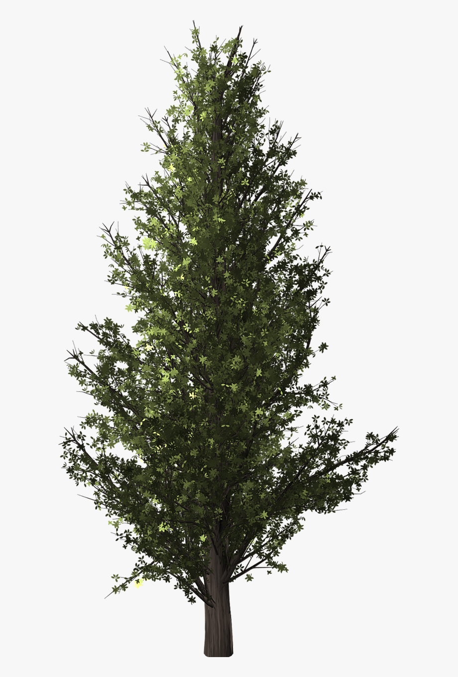 Forest, Tree, Poplar, Transparent, Isolated.