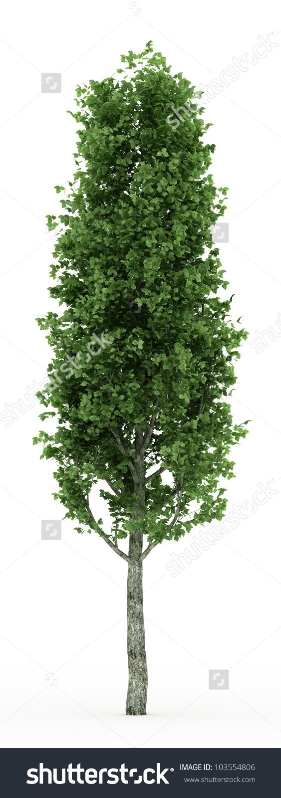 3d Poplar Tree Isolated Over White Stock Illustration 103554806.