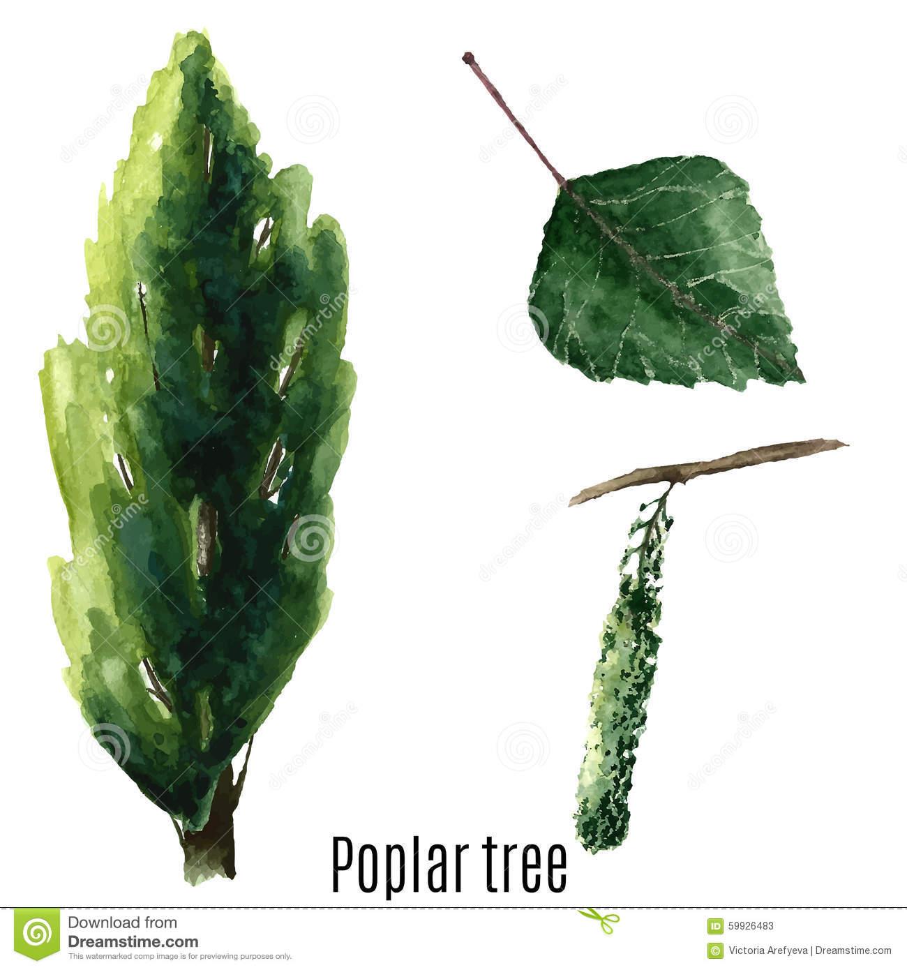 Poplar Tree. Stock Illustration.