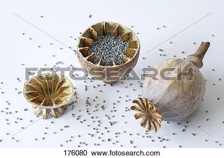 Stock Photography of Opium Poppy (Papaver somniferum). Halved and.