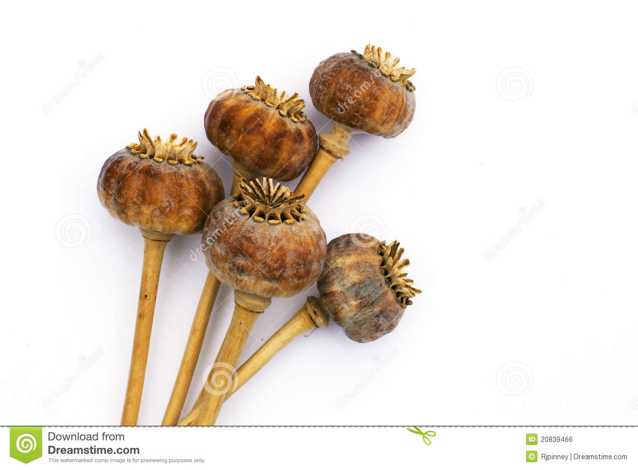 Dried Opium Poppy Seed Capsules Royalty Free Stock Image.