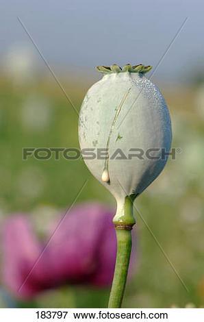 Picture of Opium Poppy (Papaver somniferum), slashed seed capsule.