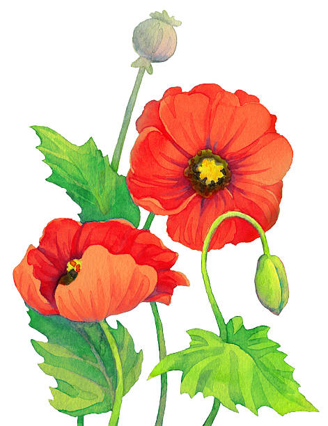 Poppy Capsule Clip Art, Vector Images & Illustrations.