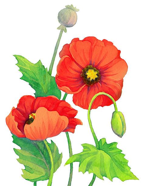 Poppy Capsule Clip Art, Vector Images & Illustrations.