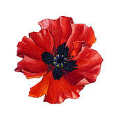Poppy Illustrations and Clipart. 2,707 poppy royalty free.