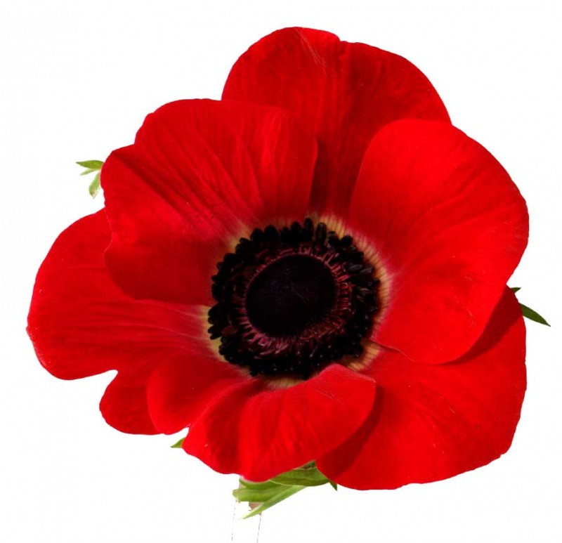 Free Poppy Flower Cliparts, Download Free Clip Art, Free.