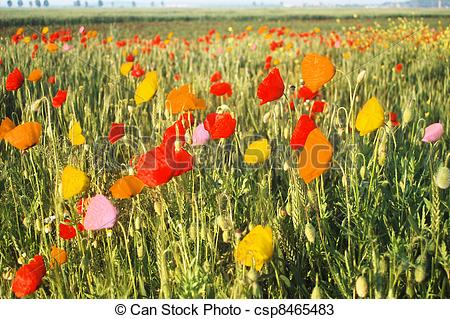 Stock Photos of multicolored poppy meadow.
