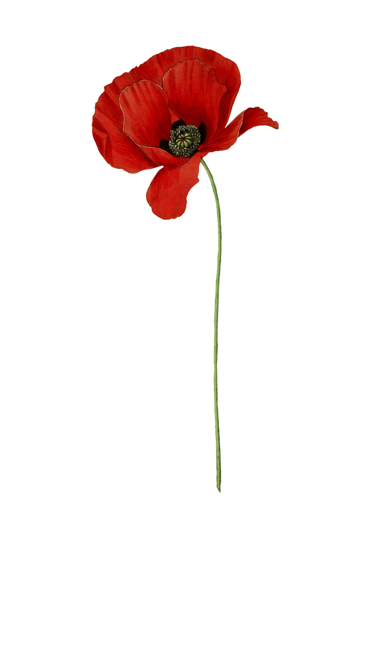 Poppy Long Stem transparent PNG.