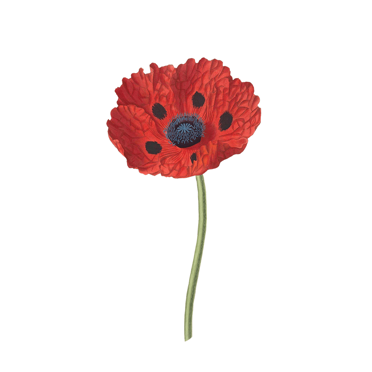 Open Poppy transparent PNG.