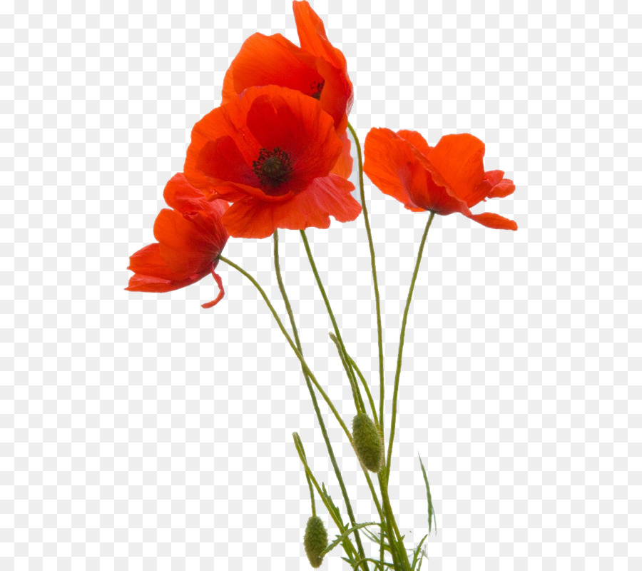 Common Poppy Png & Free Common Poppy.png Transparent Images.