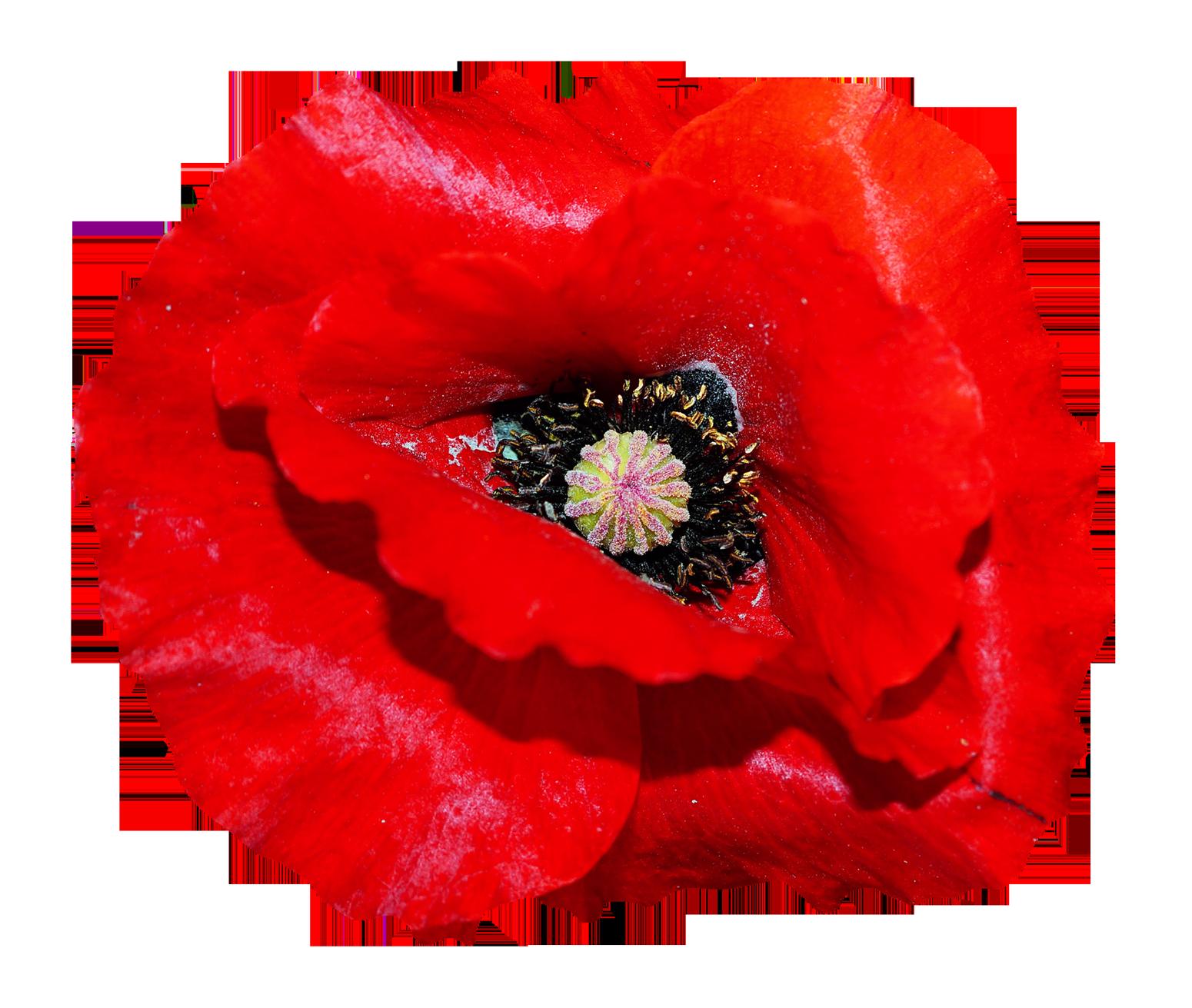 Poppy Flower PNG Image.
