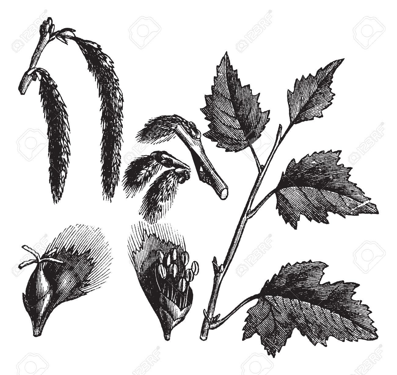 White Poplar Or Populus Alba, Vintage Engraved Illustration.