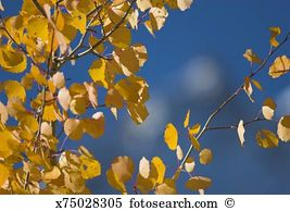 White poplar Stock Photo Images. 1,576 white poplar royalty free.