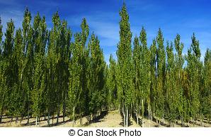 Stock Images of Populus alba.