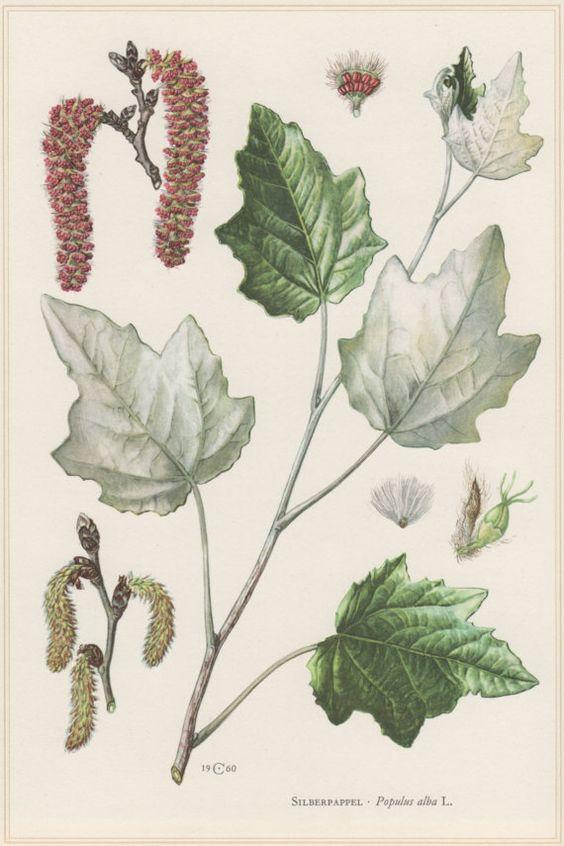 1960 Vintage Botanical Print, Populus alba, Abele, Silver Poplar.