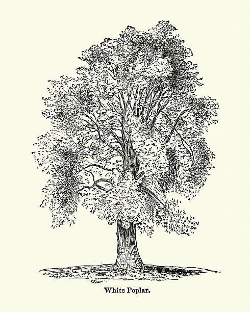 Populus Alba Clip Art, Vector Images & Illustrations.