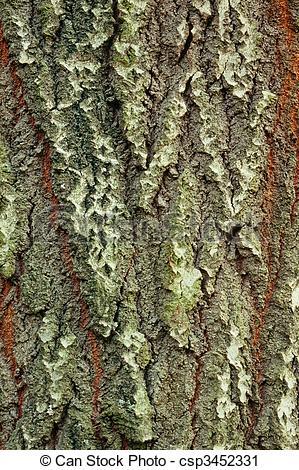 Stock Photography of Background of bark of White Poplar, Populus.
