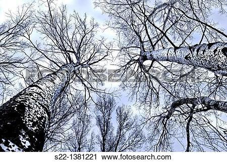 Stock Photography of Poplar grove. White Poplars (Populus alba.