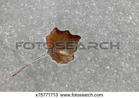 Stock Photo of White poplar leaf (Populus alba) frozen in pond.