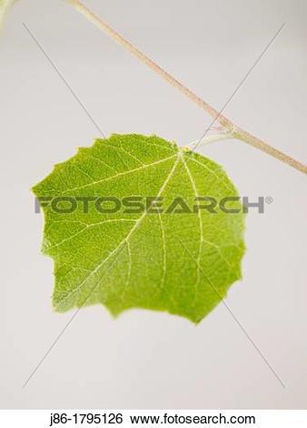 Stock Images of White Poplar leaf Populus alba, upper side. j86.