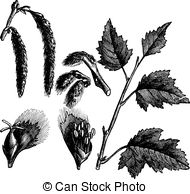 Clipart of Poplar or Populus x canescens.
