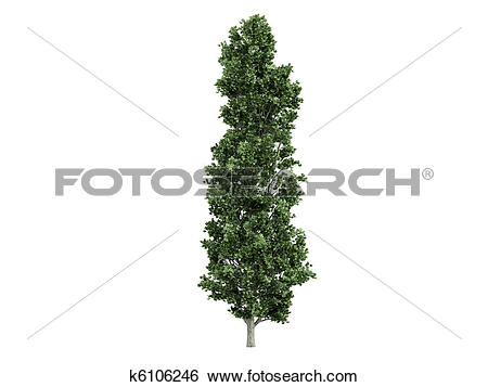 Stock Illustration of Poplar or Populus k6106246.
