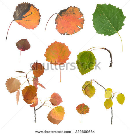Aspen Leaf Stock Photos, Royalty.