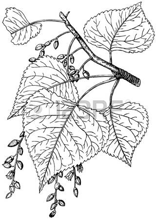 1,638 Aspen Leaf Stock Vector Illustration And Royalty Free Aspen.