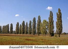 Populus nigra Images and Stock Photos. 129 populus nigra.