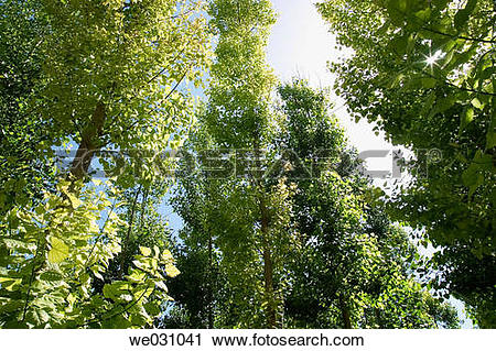Stock Photography of Black Poplars (Populus nigra). Fuentevaqueros.