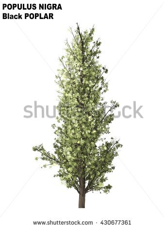 Populus Nigra Stock Photos, Royalty.