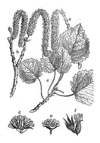 American Aspen Tree Clip Art, Vector Images & Illustrations.