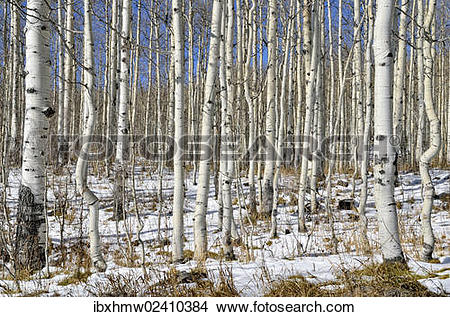 "Stock Photo of ""Trunks of Common Aspen or Quaking Aspen (Populus."