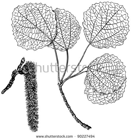 Plant Populus Tremula Stock Vector Illustration 90227494.