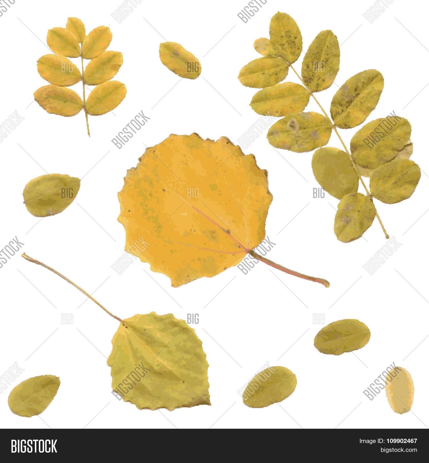 Autumn rowan, birch or Betula, aspen or Populus tremula leaves.