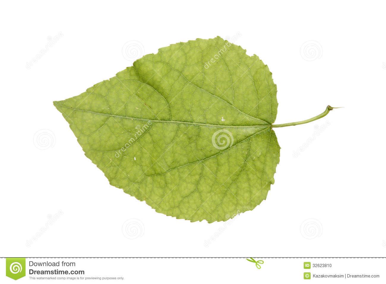 Juvenile Aspen Leaf Isolated On White Stock Photo.