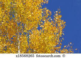 Populus tremula Images and Stock Photos. 115 populus tremula.