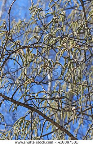 Trembling Aspen Tree Stock Photos, Royalty.