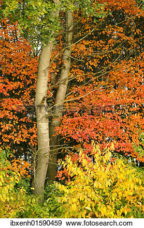"Stock Photograph of ""Autumn foliage of Amelanchier (Amelanchier."
