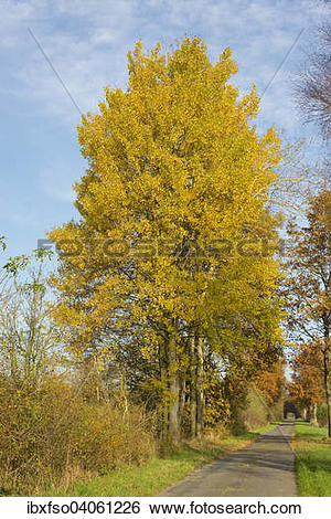 """Stock Images of """"Aspen trees (Populus tremula) with autumnal."""