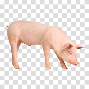Porc PNG clipart images free download.
