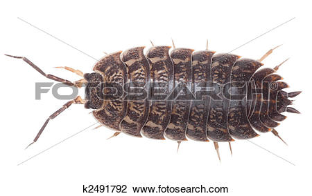 Stock Photo of Brown big wood louse.