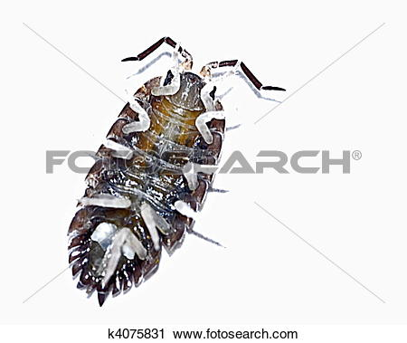 Stock Photography of common rough woodlouse (porcellio scaber.
